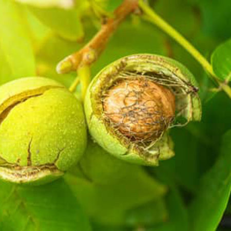 Walnuts are very resistant to pests