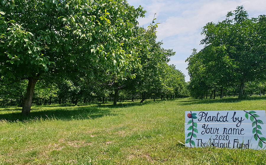 Walnut plantations